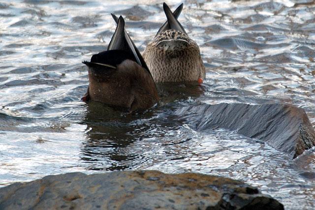 http://www.lakeshoreimages.com/images10/2ducks.jpg
