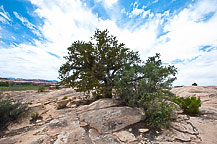Tree, Canyonlands