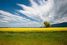 A Mustard Seed Field