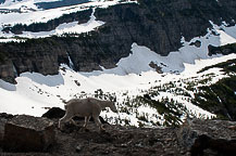 A Mountain Goat Strolling By