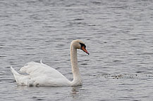 Fairhaven State Park Swan