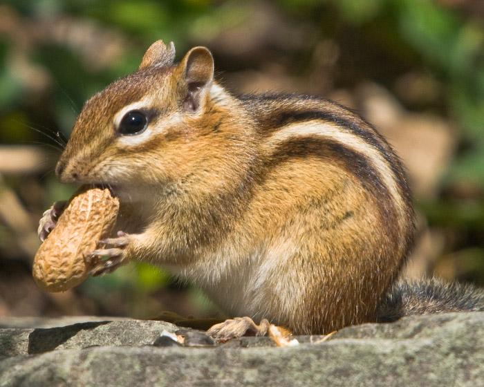 Chipmunks Food They Eat