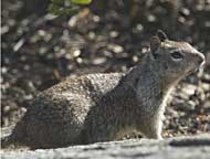 Squirrel at Yosemite